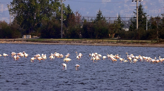 Flamingolar, İzmit Körfezi'ni renklendirdi